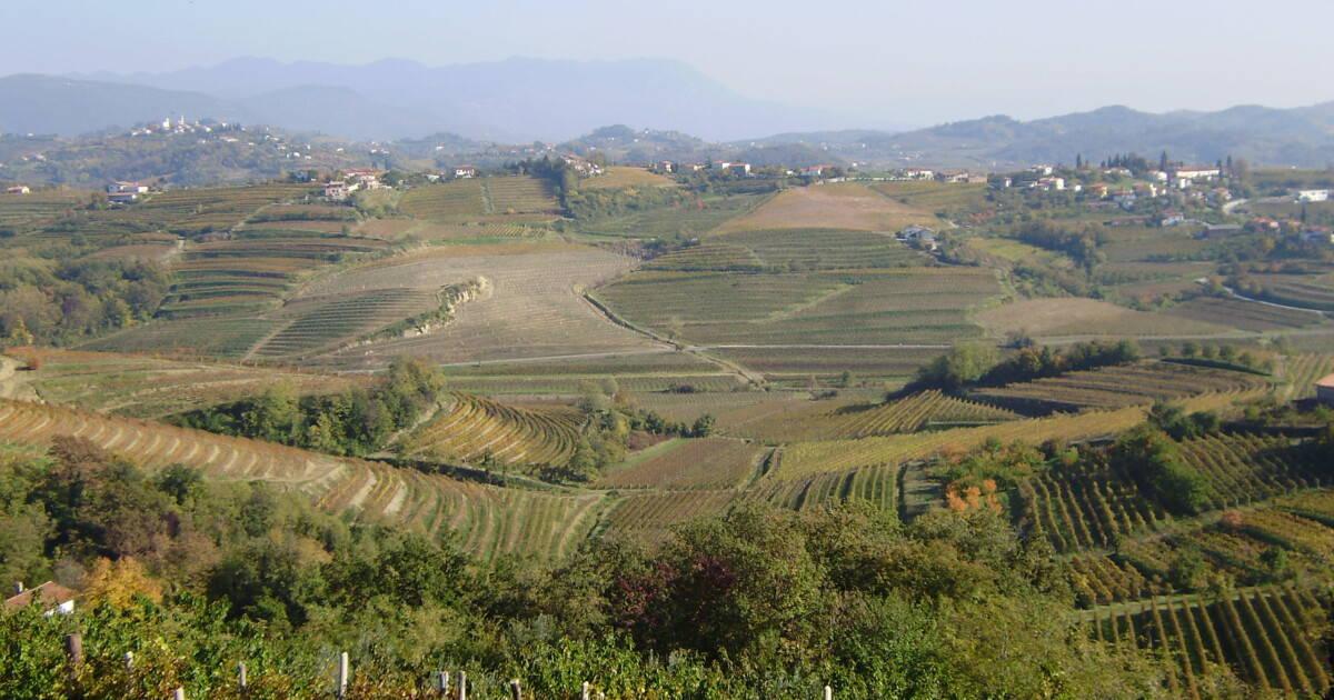 Goriška Brda vinogradi